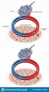 Alveolus  Gas Exchange Vector Illustration