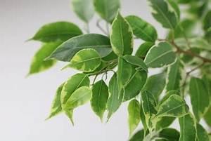 Ficus Bonsai Schneiden : birkenfeige ficus benjamina pflege schneiden verliert bl tter ~ Indierocktalk.com Haus und Dekorationen