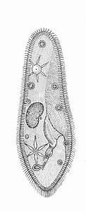 Structure Of Paramecium Caudatum