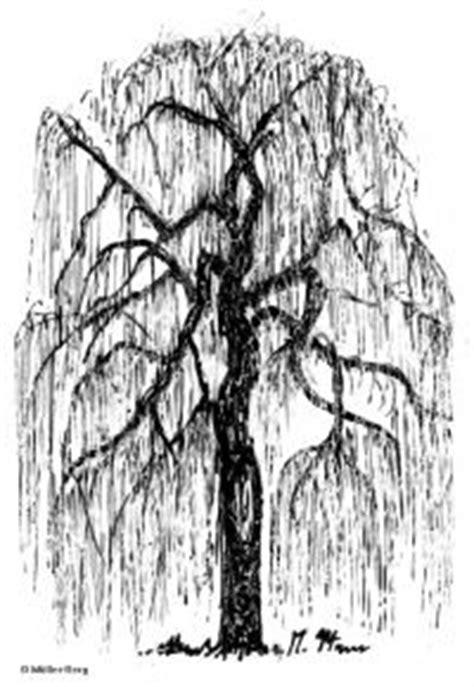 Trauer-Weide Details - Baumbestimmung, Laubhölzer