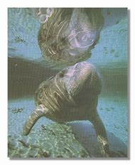 Manatee Whale in Ocean Close Up Photo W…