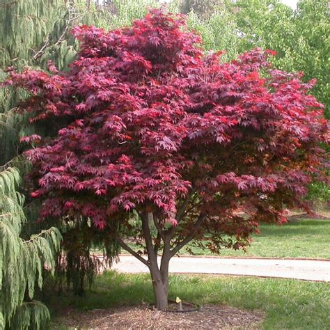 buy japanese maple trees acer palmatum   ireland