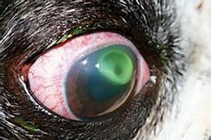 Why Do Cats' Eyes Change Color? - LoveToKnow  Ulcer Corneal ulcers and infections