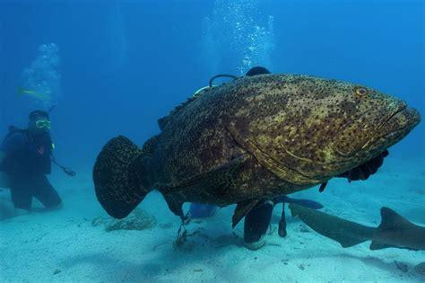 goliath grouper fish shark weight groupers much giant grow pounds bite eats florida coast chomps feet korsou fotosearch getty