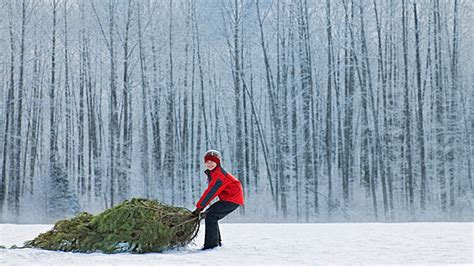 how much is a real christmas tree when should i buy a tree our guide to buying a real one bt
