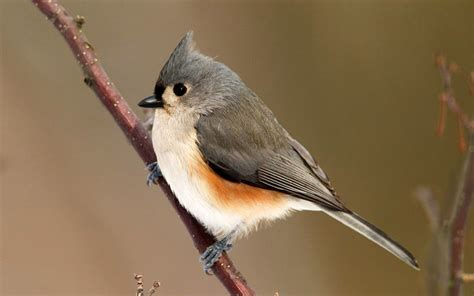 tufted titmouse wallpaper 3617