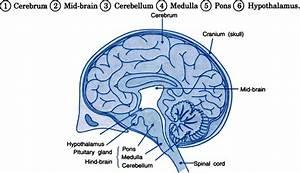 31 Label The Brain Anatomy Diagram