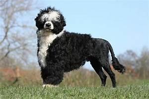 Anti Allergie Hund : portugiesischer wasserhund charakter temperament ~ Orissabook.com Haus und Dekorationen