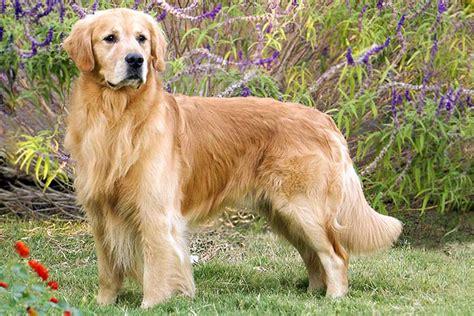 Golden Retriever Dog Breed Information