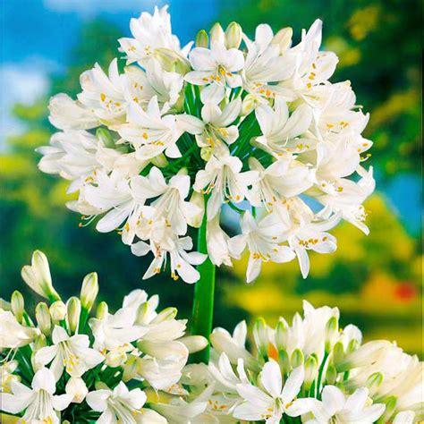 afrikanische lilie überwintern schmucklilie afrikanische lilie wei 223 g 228 rtner p 246 tschke