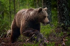 Eurasian Brown Bear  U2013 Bear Conservation