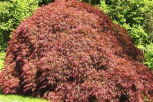 different types of japanese maples japanese maples so many awesome colorful varieties to choose from fast growing trees com