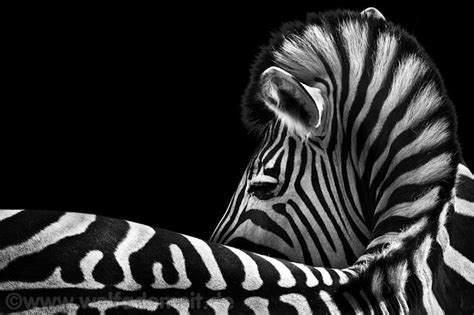 zebras ideas  pinterest zebra pictures