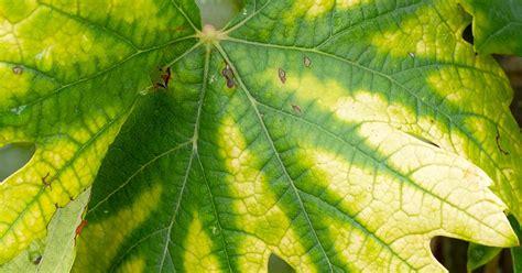 nitrogen deficiency treatment  control love  garden