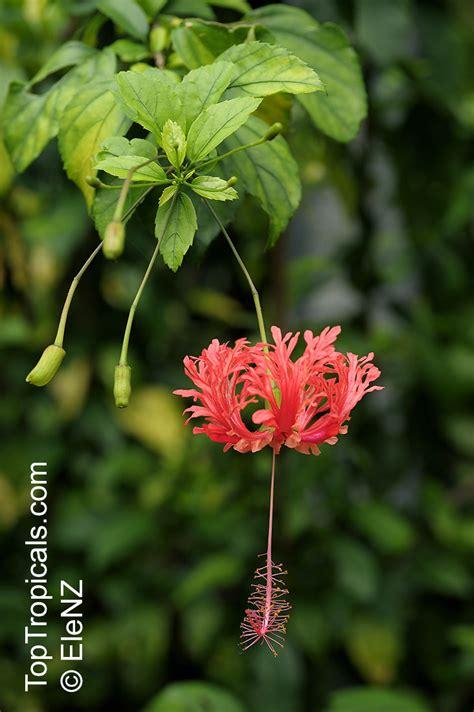 hibiscus lantern chinese japanese coral schizopetalus skeleton plants similar fringed toptropicals coccineus rose mallow