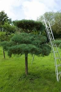 Niwaki - Pine Pruning
