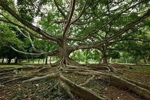Tropical Tree Roots  Sri Lanka