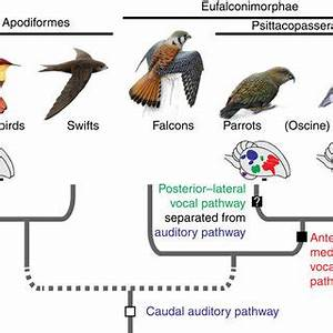 Evolution of vocal learning in birds.Schematic brain ...