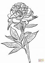 Coloring Peony Pages Chinese Drawing Printable Indiana Line Flower Flowers Peonies Cardinals Supercoloring Colorings Getdrawings Cardinal Animals Printables Watercolor Tags sketch template