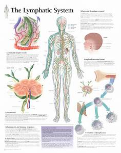 The Lymphatic System 2400