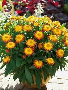 Balkonpflanzen Herbst Winter : herbstblumen als haus oder tischdekoration einsetzen tolle beispiele ~ Sanjose-hotels-ca.com Haus und Dekorationen