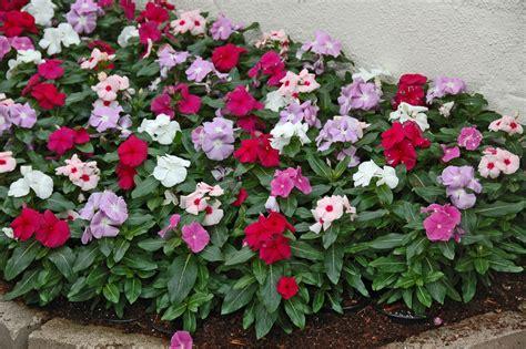 types of annual plants dr dan s garden tips june 2012