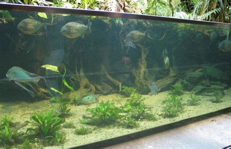Amazon river tank  AquaticQuotientcom Photo Gallery