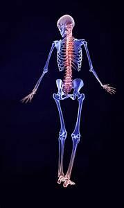 3d Male Skeletal System Model
