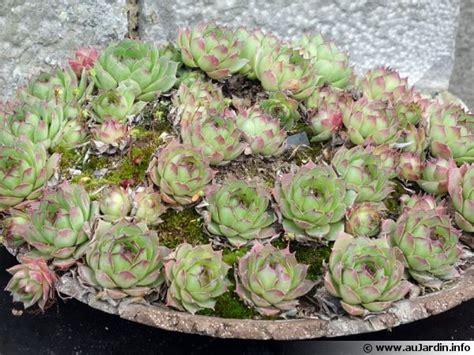 cuisiner chou fleur joubarbe sempervivum planter cultiver multiplier