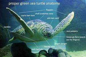 Wiring Database 2020  30 Turtle Anatomy Diagram