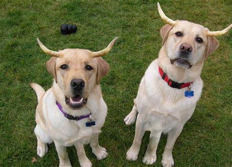 Ragioni Per Non Fidarti Dei Labrador Retriever! Dogbuddy
