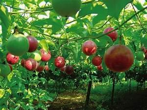 Passion fruit from Vietnam - Saka Saka