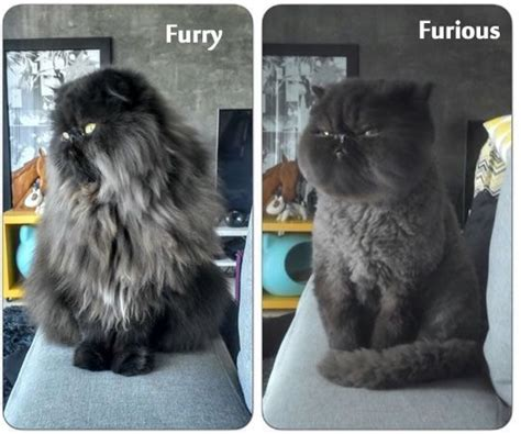 funny cat grooming long hair cut catgroominglonghair