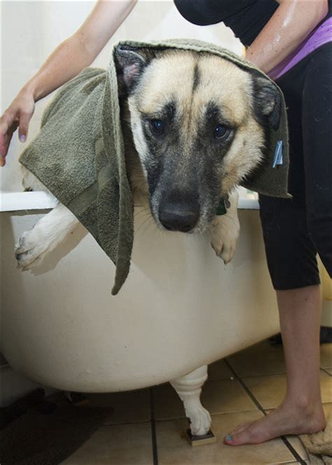 do dogs shed all year do german shepherds shed german shepherds shed a lot