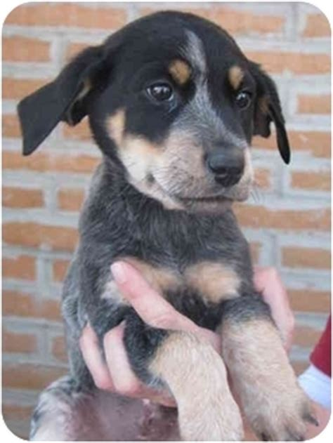 blue tick heeler shedding blue tick hound lab australian shepherd mix puppies