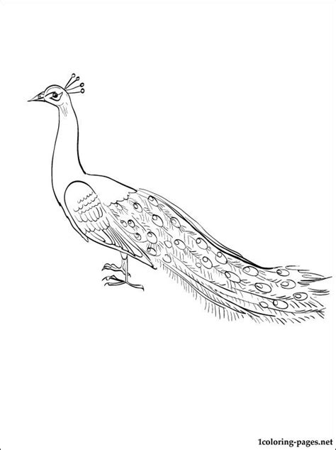 peafowl coloring page  kids coloring pages