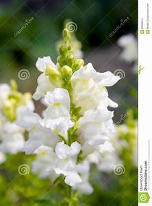 Snapdragon Flower Stock Images - Image: 28398074