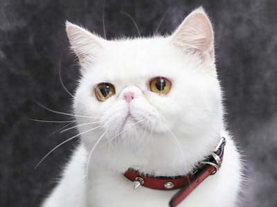 exotic shorthair information characteristics facts names