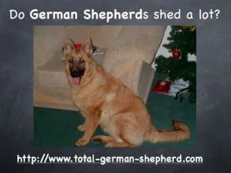 german shed do german shepherds shed