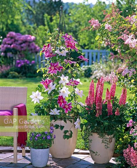 gap gardens clematis hybriden dr ruppel clematis mme le coultre growing up metal wigwam