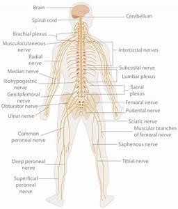 Te-nervous System Diagram - Nervous System