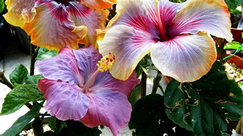 Hibiscus Flower Backgrounds by Hibiscus Flower Wallpaper