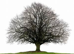 Linde Baum Steckbrief : die winterlinde im steckbrief ~ Orissabook.com Haus und Dekorationen