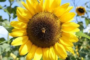 Sonnenblume Im Topf : sonnenblume im topf pflanzen erfahren sie hier ~ Orissabook.com Haus und Dekorationen