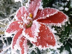 Weihnachtsstern Pflanze Kaufen : frostiger weihnachtsstern foto bild pflanzen pilze ~ Michelbontemps.com Haus und Dekorationen