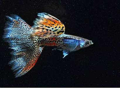 Guppy Fancy Fish Tail Freshwater Aquatic Metal