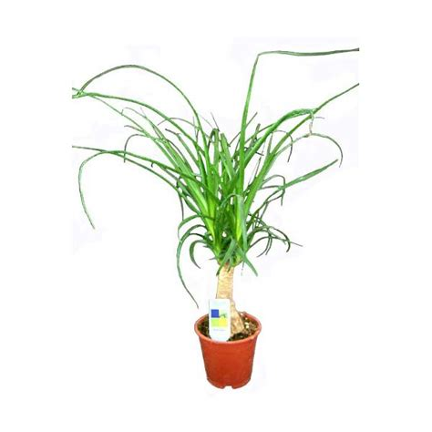 gemüse anbauen hochbeet elefantenfu 223 beaucarnea recur lexikon f 252 r kr 228 uter und pflanzen