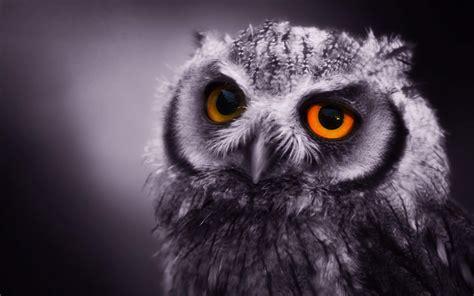 Owl Wallpaper by Owl Wallpaper Desktop Animal