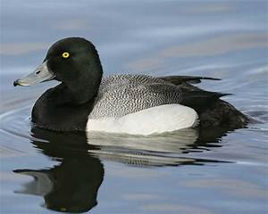 Greater Scaup | Audubon Field Guide  Lesser