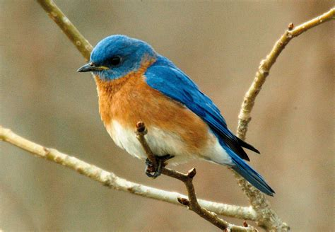 blue birds bluebird